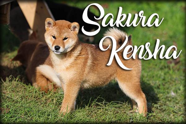 Sakura Kensha